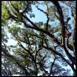Mossman Raintrees
